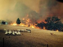 ANIMALS fire approaching