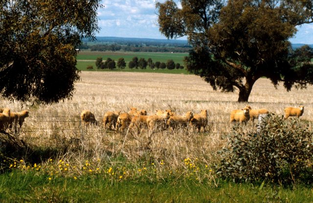 stock Sheep in dangerous paddock